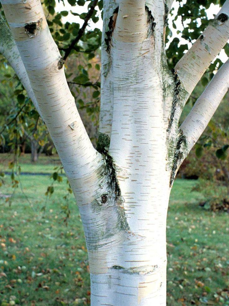 Himalayabjörk, ungträd med 3 huvudstammar 4990 kr från Zetas