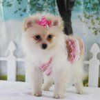 Puppies for Sale - Connecticut Pomeranian Breeders