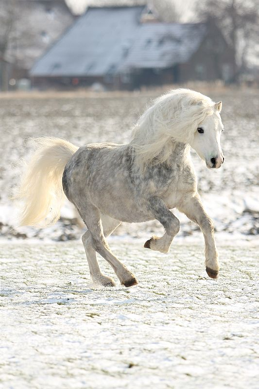 Beautiful horse running free, not enslaved by humans