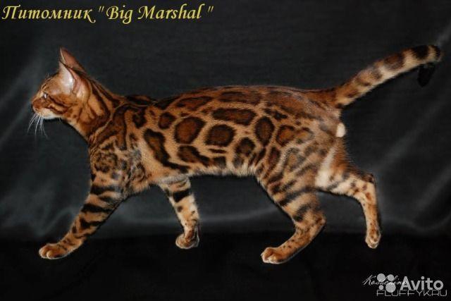 Бенгальские котята из питомника — фотография №3