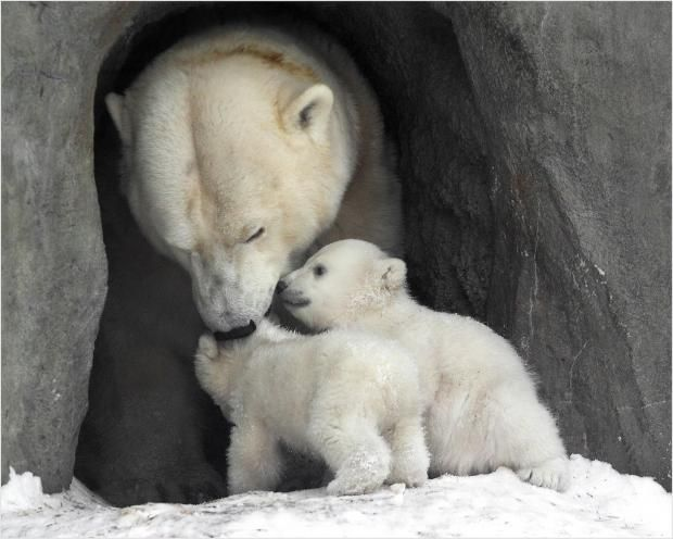 Забавные животные: В Австралии родились белые медвежата-близнецы https://joinfo.ua/leisure/animals/1208693_Zabavnie-zhivotnie-Avstralii-rodilis-belie.html