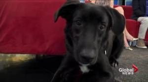 Adop at Pet: Buddy the Lab Cross