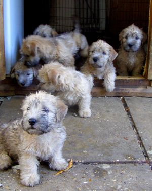 Puppies: Jeonty Glen of Imaal Terriers