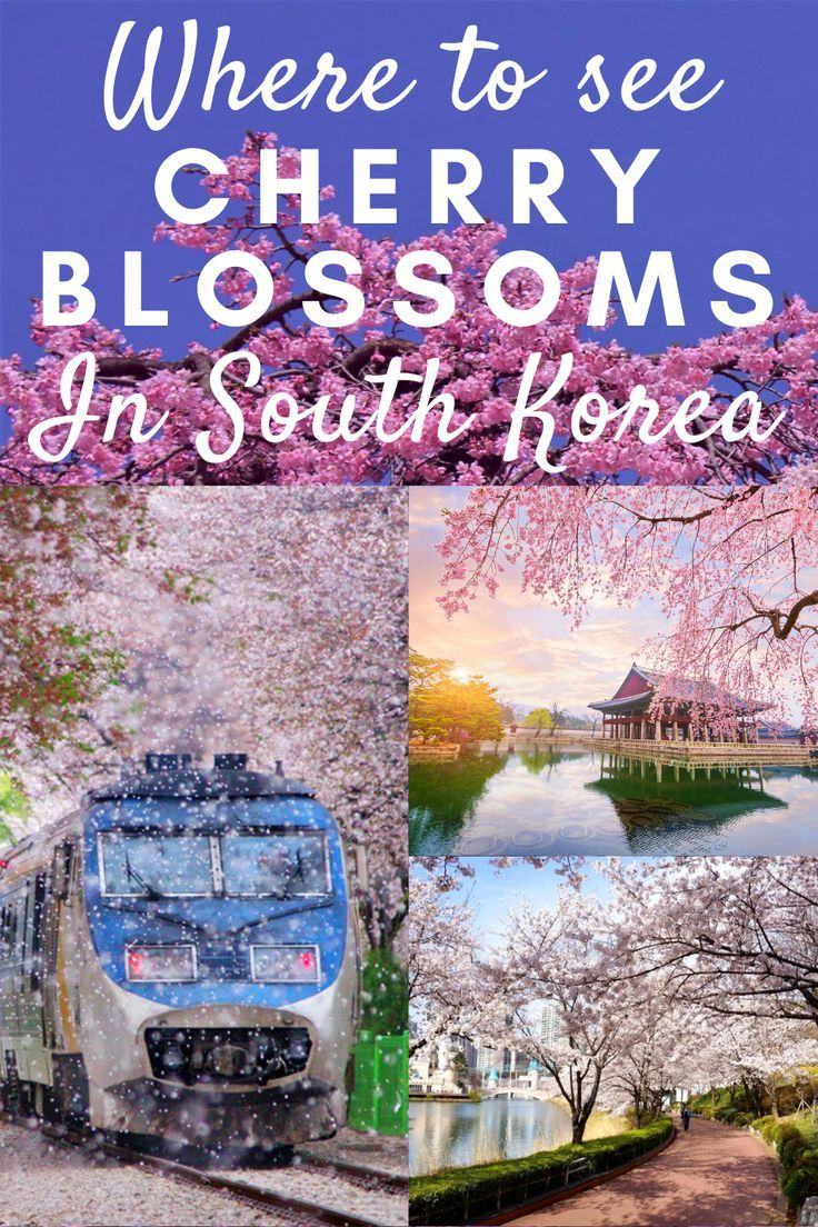 Where To See Cherry Blossoms In Korea Seoul Korea Travel Korea Travel South Korea Travel