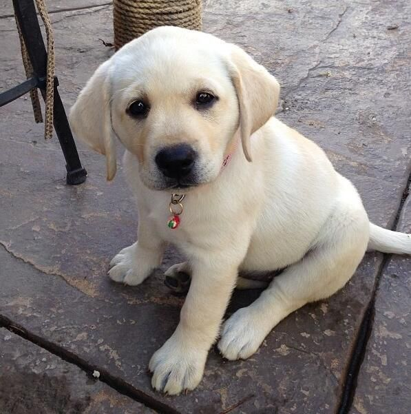Yellow Lab Puppy : Summer Place! :* | Cute ...