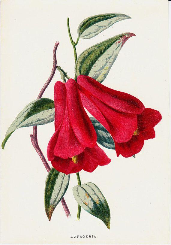 1887 Amazing Antique FLOWER print color by TwoCatsAntiquePrints, $19.50 -SOLD-