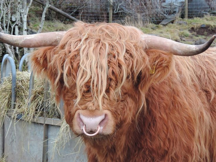 A Highland cattle bull with a nose ring