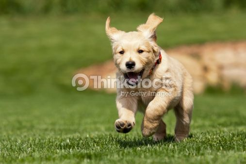 Golden Retriever Puppy Stock Photo 162312533