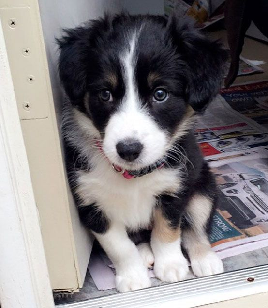 Too cute to be real Miniature Australian Shepherd tri color puppy