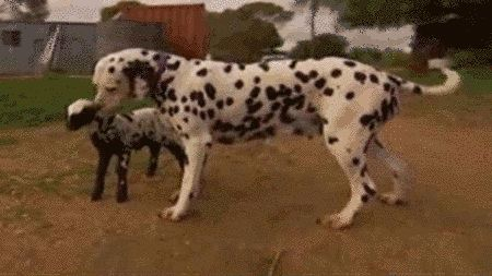 This orphaned lamb was adopted by a friendly and loving Dalmatian. | 19 Facts That Prove Animals Have Souls