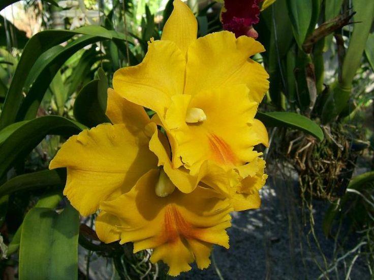 Цветущая каттлея на орхидеевой ферме в Таиланде