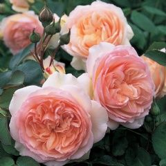 """David Austin Roses~ """"Perdita"""" - Perfect rosette-shaped flowers quartered at the center and of delicate apricot-blush color. The growth is strong and bushy with polished, deep green foliage. Good disease-resistance and repeat-flowering."""