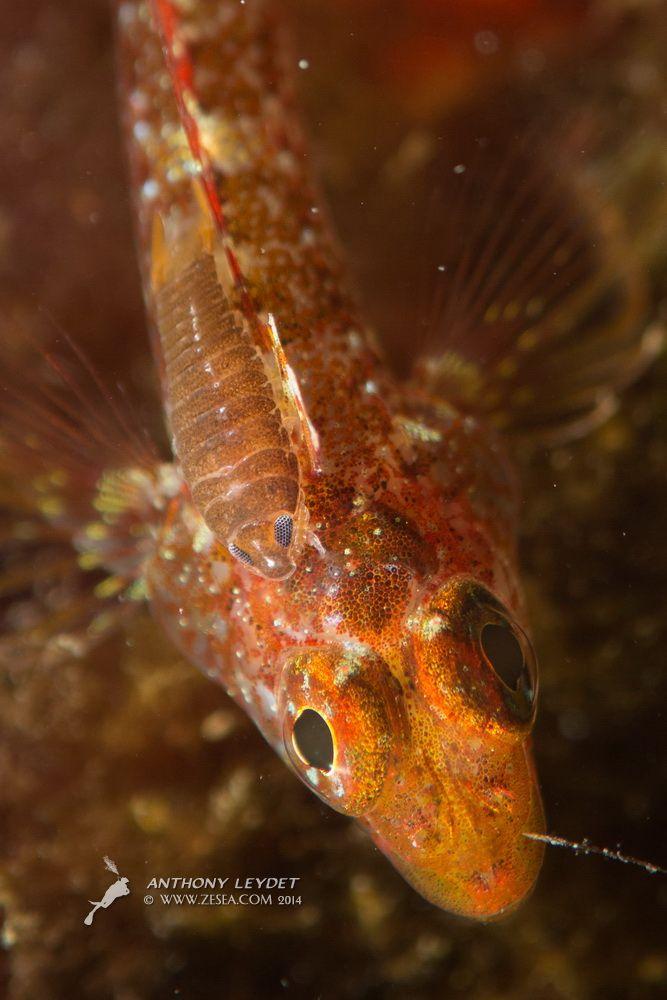#poisson #parasite #plongee #Mediterranee #plongimage www.zesea.com