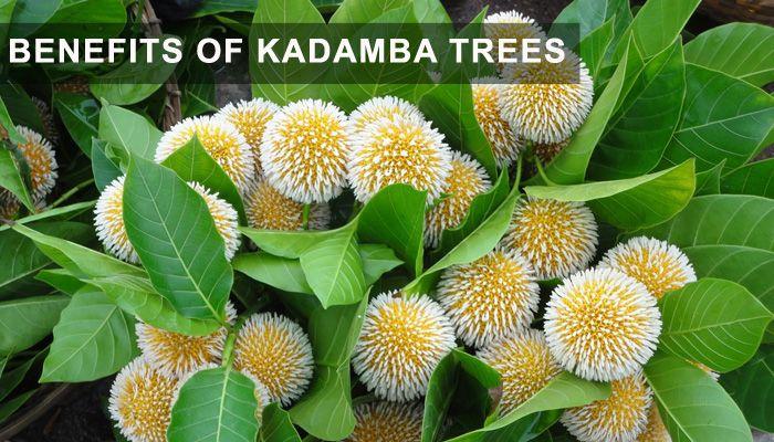 Image Result For Kadamba Flower Flowering Trees Flowers Beautiful Flowers