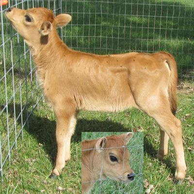 Miniature jersey cows for sale in ohio | 400 x 400 jpeg 79kB