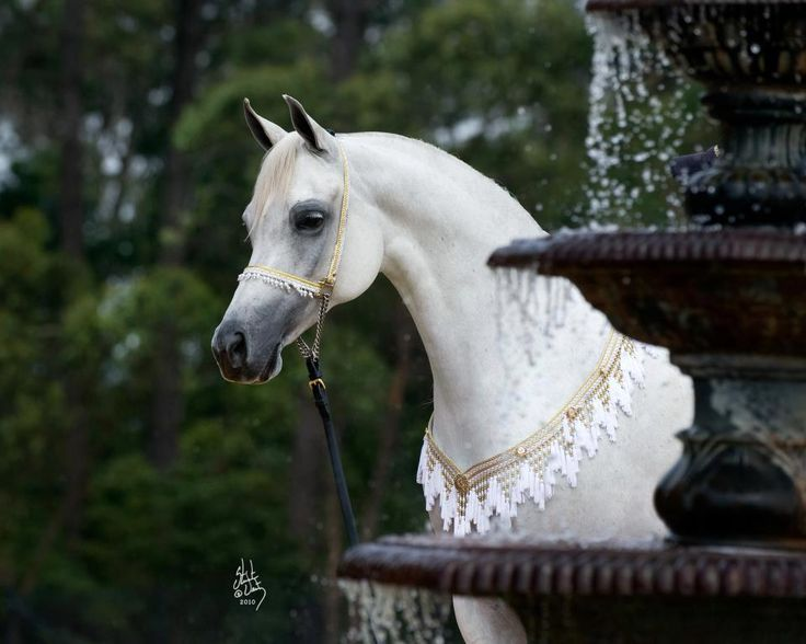 Grey Arabian Horse Arabian Horse Show - Western Competition Egyptian Stallion Breeding PIntabians~
