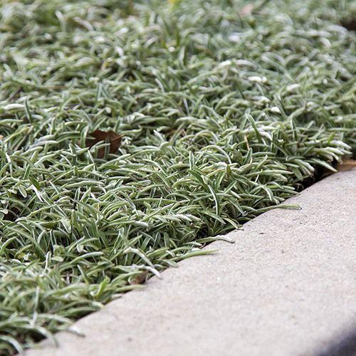 Silver Carpet (Dymondia Margaretae)