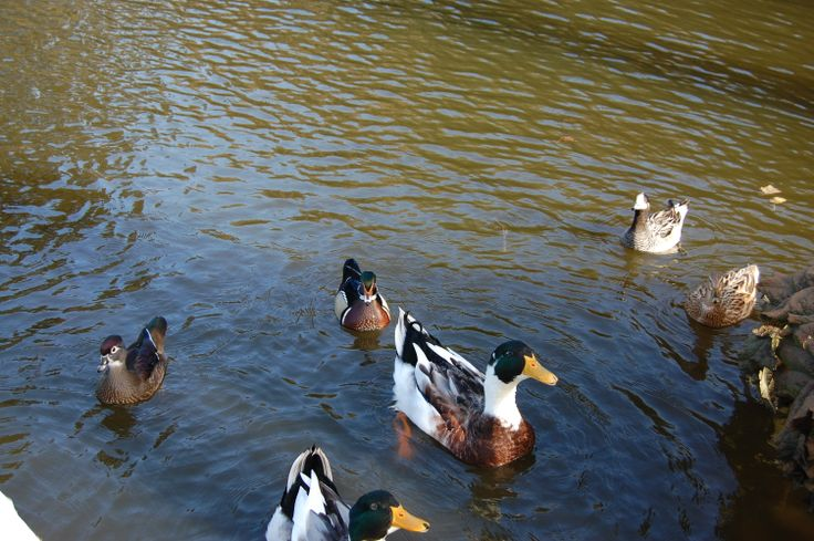 Jardín Japones  Estanque con patos  Constitución Region del Maule  Chile