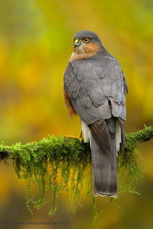 Eurasian Sparrowhawk by Walter Soestbergen*