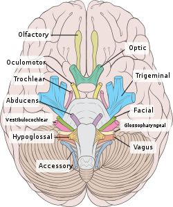 SLP : cranial nerves Repinned by SOS Inc. Resources.  Follow all our boards at http://pinterest.com/sostherapy  for therapy resources.