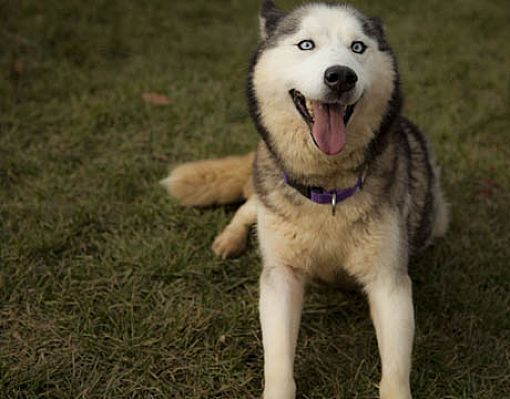 Harvard Il Siberian Husky Meet Kanda A Pet For Adoption
