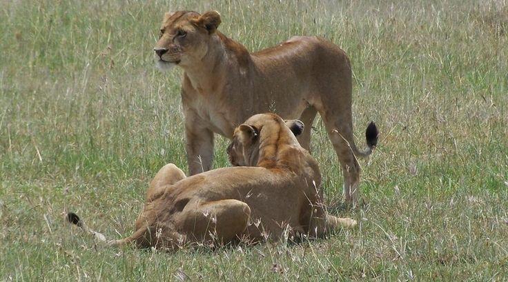 Leeuwenvrouwtjes in Serengetti, door reporter Vera. Mooi gezicht!