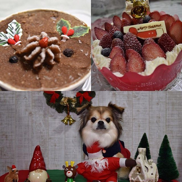 トナカイさんのミートローフが届いたよ🎁🐶イブのクリスマスケーキ🎂😋Merry Christmas 🎁🐶 #dog #dogstagram #doglover #instadog  #pekingese #pekingesemix #chihuahua  #west_dog_japan #nikon #japan  #ペキチー #わんこ #ペキニーズ #チワワ #ペット #犬バカ部 #愛犬 #ミックス犬 #癒しわんこ #ペキ #ペキチワ #カメラ初心者 #カメラ好き #ニコン  #お家スタジオ #クリスマスケーキ #ミートローフ #わんこ用