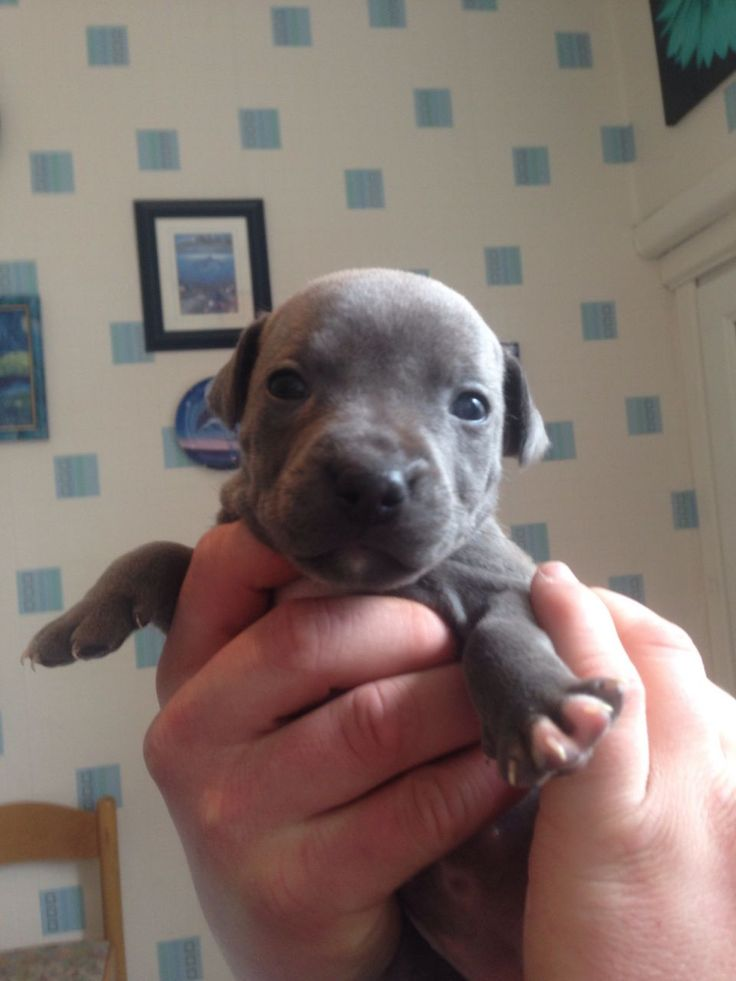 Blue staffy puppies for sale don't miss out! | Nelson, Lancashire | Pets4Homes