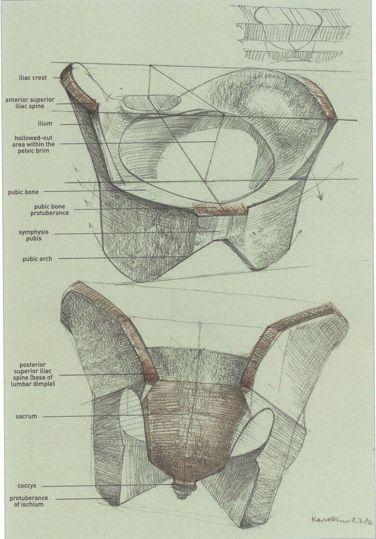 The 28 Best Pelvis Anatomy Images On Pinterest Human Anatomy