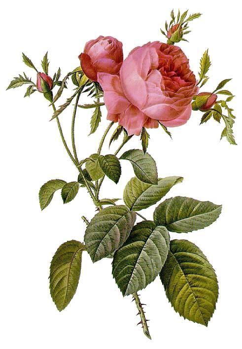 Rosa centifolia - Centifolieros - de hundra bladens ros
