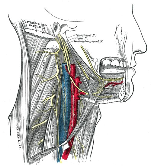 "Hypoglossal Nerve-- is the twelfth cranial nerve XII, and innervates muscles of the tongue. The name hypoglossus springs from the fact that its passage is below the tongue, hypo meaning ""under"", and glossus meaning ""tongue"", both of which are from Ancient Greek. The nerve is involved in controlling tongue movements required for speech, food manipulation (i.e. formation of bolus), and swallowing."