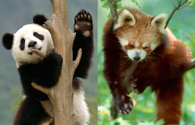 Two species of distantly related panda may have adapted to a bamboo-centric diet in similar genetic ways.