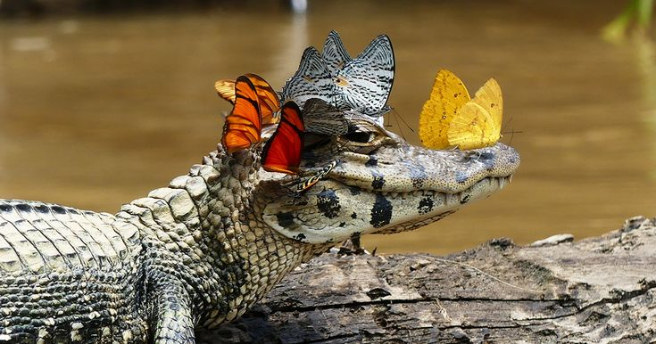 Caiman Wearing A Crown Of Butterflies Shows Its Softer Side | Bored Panda