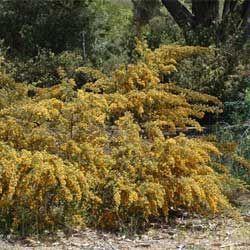 hairy bush pea  Pultenaea villosa  compact, fine-leaved shrub; yellow pea flowers; bronze foliage in winter; reddish new growth