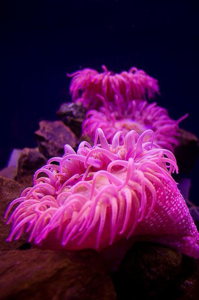 fond marin, anémone rose, créature de mer splendide