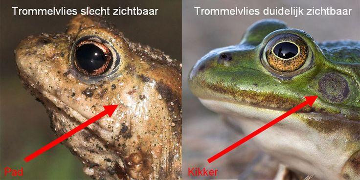 Bij padden is het trommelvlies slecht (nauwelijks) zichtbaar - bij kikkers is het trommelvlies meestal goed zichtbaar