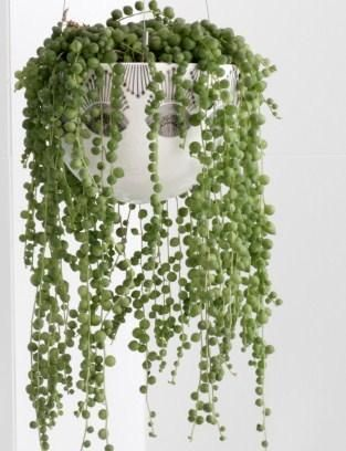 care of string of pearls: light - plant will do well if it receives 2-3 hours of direct sunlight and bright, indirect light for the rest of the day. Good drainage is extremely important, which is why the use of sandy soil is suggested. You could also use a potting mix that is meant for succulent plants. Make sure that the soil is well-drained. Water the plant thoroughly once or twice a month. Reduce the frequency during the winter. Apply a general-purpose liquid houseplant fertilizer 1/mo