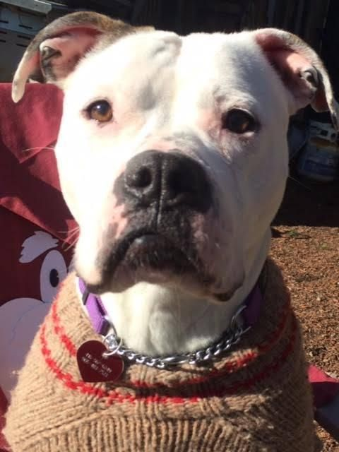 Alice is an adoptable American Bulldog THE DOG RESCUERS INC. 416-567-6249 115 George St. Box 245 Oakville, ON L6J info@thedogrescuersinc.ca