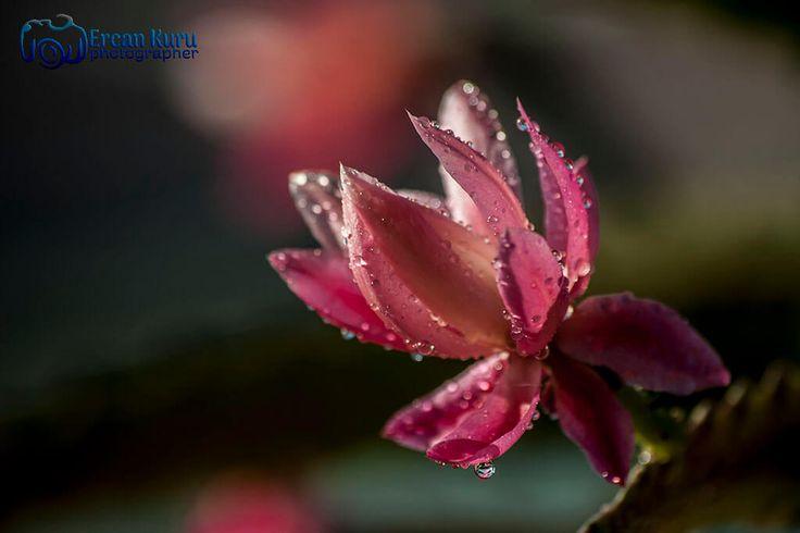 bir damla yaşam... http://www.ercankuru.com.tr/project/cicek-bahcesi/ #çiçek #flower #çiçekler #flowers #çiçekbahçesi #flowergarden #çiçekçi #florist #makro #macro #pembe #pink #pembeçicek #pinkflower