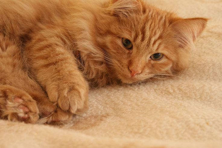 djur- sällskapsdjur päls kattunge katt däggdjur näsa ögon polisonger öga djur se hud ryggradsdjur hankatt Rudy charmig kattens ögon randig katt små till medelstora katter katt som däggdjur inhemsk korthårig katt inhemsk långhårig katt
