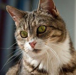 """Le pica, trouble du comportement alimentaire du chat qui mange des produits non comestibles, se manifeste principalement chez les races originaires d¹Orient (Siamois, Orientaux, Korat, Thaïs, etc.) et les chats """"dérivés"""" de ces races (Birmans, par exemple).Un syndrome lié à ..."""