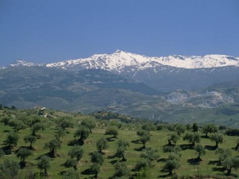 Olive Grove with Sierra Nevada Peaks in the Background, Granada, Spain