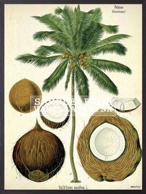 POSTER COCONUT (3-PACK) #PSC84