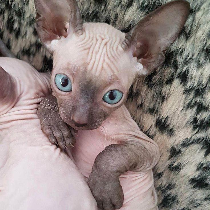 Смешное фото кота сфинкса