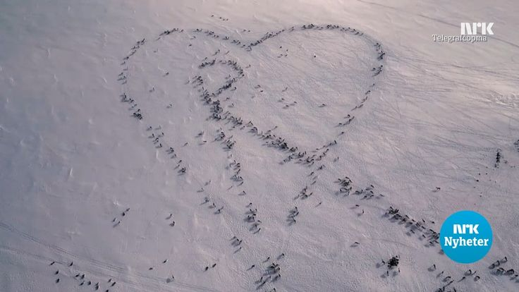 Hundreds of reindeer in Norway created a heart formation with the help from reindeer herder Aslak Ante Sara.