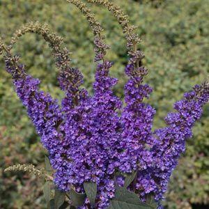 190 best Garden Zone 8 Full Sun images on Pinterest Garden ideas
