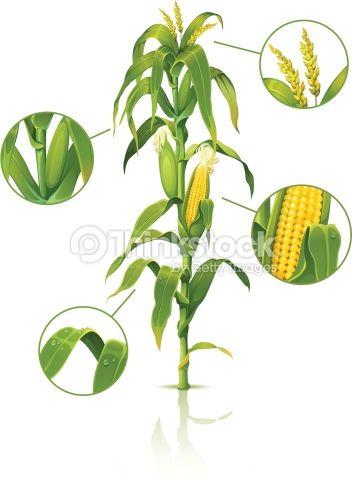 Vector Art : Corn stalk.                                                                                                                                                                                 More