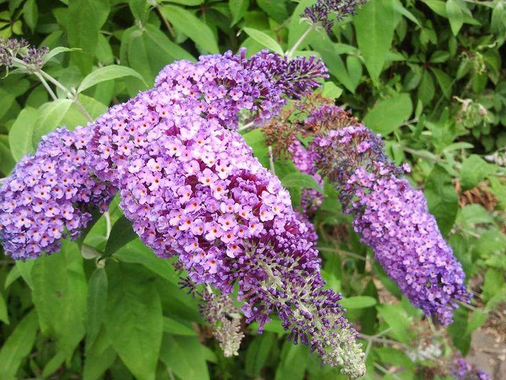 """Tineke Kalis: """" Ik ruik. Mijn neusgaten sperren zich open. Ik zoek. Achter me staan paarse bloemen –het lijken wel seringen – tegen een muur te wuiven. Wespen en bijen doen zich tegoed maar willen niet op de foto. Op safari in mijn eigen bakstenen straat. Beter laat dan nooit."""" #Ideeënsafari"""