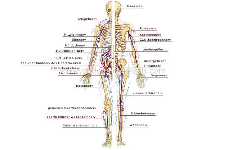 http://bildwoerterbuch.pons.eu/mensch/anatomie/nervensystem/peripheres-nervensystem.php