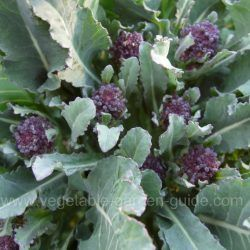 Growing broccoli plants like this Purple Sprouting Broccoli http://www.vegetable-garden-guide.com/growing-broccoli.html